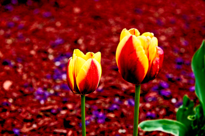 TwoTulipsTogether_20210502_850_2277