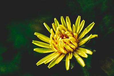 Dandelion And Sunshine_20210519_850_2512