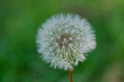 Dandelion Profile View_20210519_850_2500