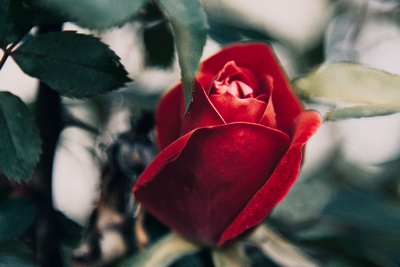Springtime Rose Emerging_20210520_850_2526