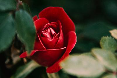 Spring Rose Hiding Behind Leaves_20210520_850_2523