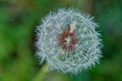 Dandelion Constellation_20210519_850_2489