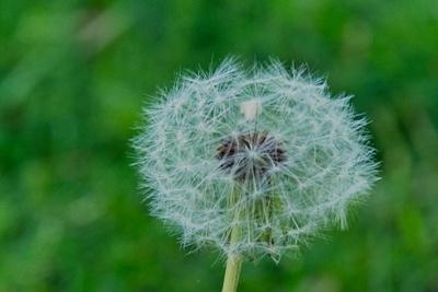Seeded Dandelion Core_20210519_850_2485