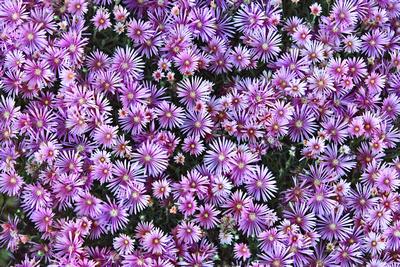 Purple Fireworks_20210606_850_3638