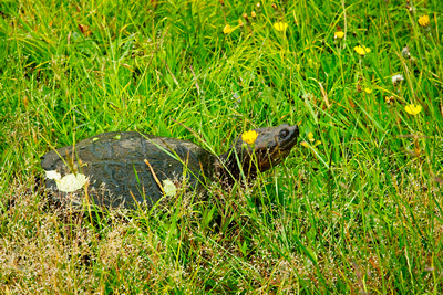 Turtle In The Grass_20210612_850_3925