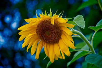 Awakening Sunflower_20210803_850_8202