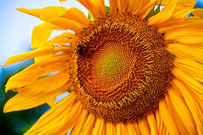 Sunflower Greeting_20210803_850_8210