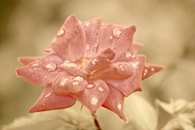 Fall's Antique Rose 20210922 850_0951