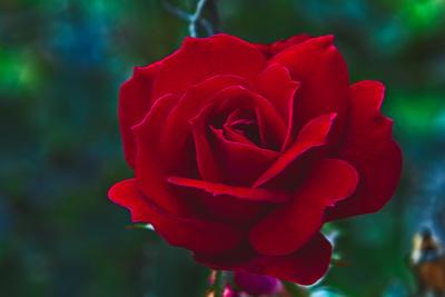 Fall's Velvet Rose 20211006 850_2089