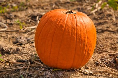 Pumpkin__InThePatch_20201010_850_6239