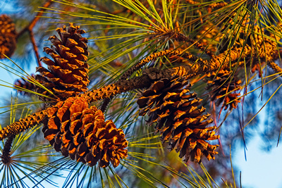 Late Day Pinecones_20210805_850_8493