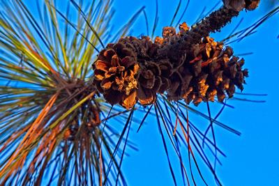 Illuminated Pine Cones_20210805_850_8488